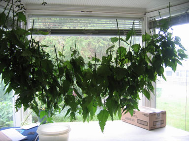 Nettles drying